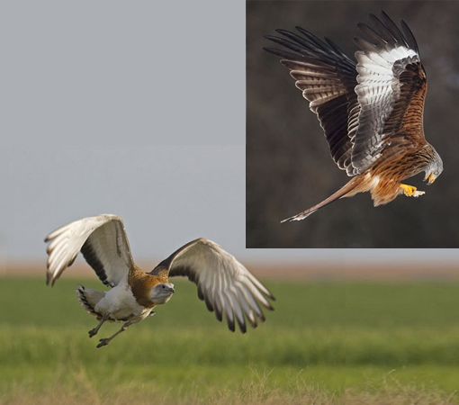 reintroduction/comeback: great bustard and red kite