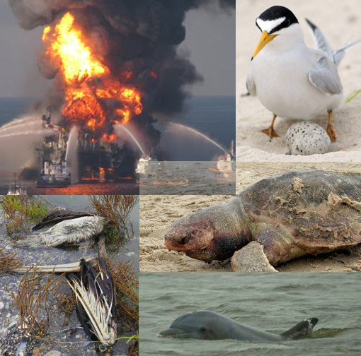 oil rig exploded in the Gulf of Mexico off the Louisiana coast, the oil slick will destroy this generation of the bird that nests along the Gulf coast beaches