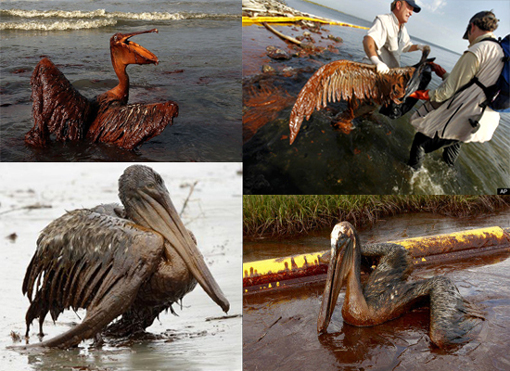 brown pelicans covered in thick oil off Gulf of Mexico