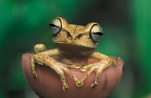 frogs, like this Gunther's banded treefrog (Hyla fasciata) in Tambopata Reserve, Peru, are amazingly diverse in rainforests