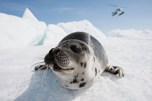 Canadian seal hunters lose bid to lift EU import ban