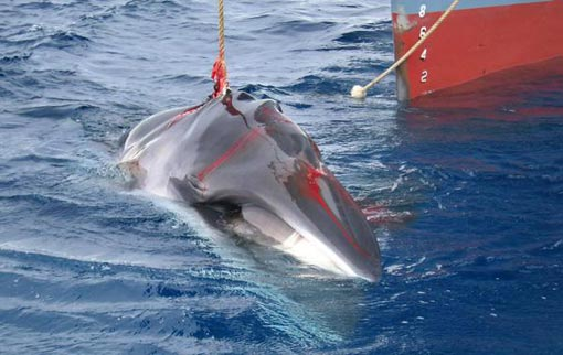 a minke whale harpooned by the Japanese whaling vessel Yushin Maru No 2