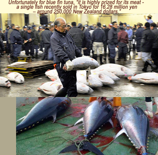 Unfortunately for blue fin tuna, 'it is highly prized for its meat - a single fish recently sold in Tokyo for 16.28 million yen - around 250,000 New Zealand dollars.'