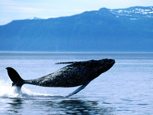 photo: breaching humpback whale
