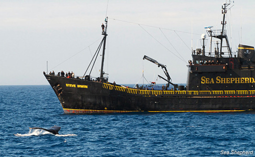 humpback whale dives near one of the Sea Shepherd ships