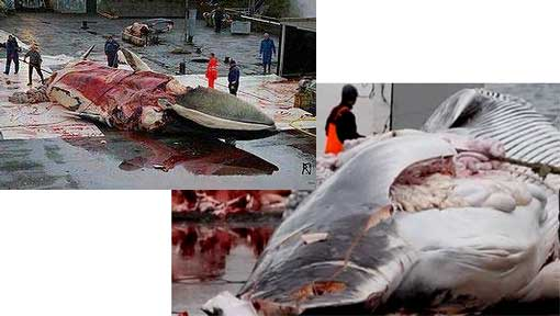 importing whale meat into the UK or Europe is in breach of international law
