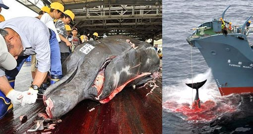 Left: Fishermen slaughter a 10m-long bottlenose whale at the Wada port in Minami-Boso city, Chiba prefecture, east of Tokyo; Right: the Nisshin Maru, a factory ship in a Japanese whaling fleet, injured a whale with its first harpoon attempt in January 2006
