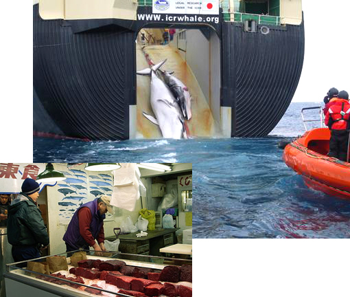 Two minke whales are hauled aboard a Japanese whaler. Japanese authorities have denied reports the two were a mother and calf. Australia has 'shocking' evidence to back a legal bid to stop Japanese whaling in the Southern Ocean. Inset: Whale meat sold in Japan.