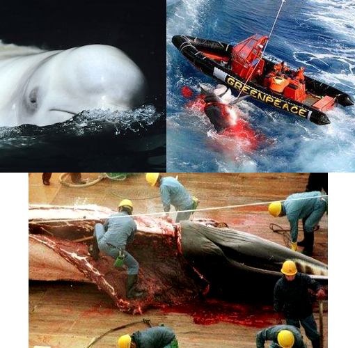 Top left: even endangered white whales get no promises to be spared from the Japanese whalers. Top right: Greenpeace activists sit in their inflatable boat after a harpoon fired from a Japanese whaling ship narrowly missed them in the Southern Ocean. Bottom: Japanese whalers carve up a minke whale.
