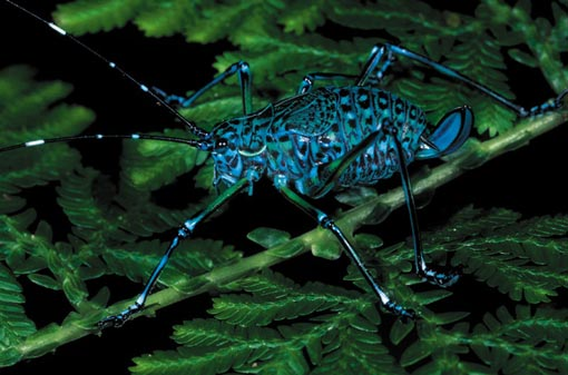 katydids are part of the grasshopper family and come in a bewildering array of shapes and colours. Sumatra in Indonesia