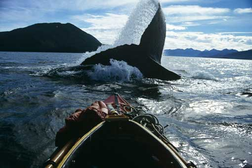 Amazing humpback whale photograph taken in kayak. The whale is the largest and most majestic animal to ever inhabit our planet.