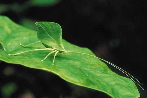 a leaf katydid is almost indistinguishable from the real thing. Manú National Park, Peru