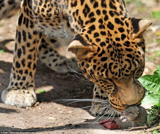 the surprised leopard bent down and sniffed the mouse and flinched a bit like she was scared