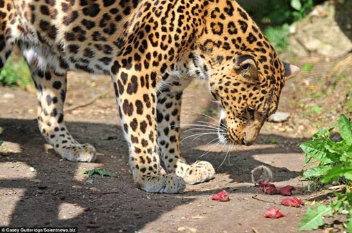 a perturbed Sheena the leopard looks on as a cheeky mouse nibbles her food at the Santago Rare Leopard Project in Hertfordshire