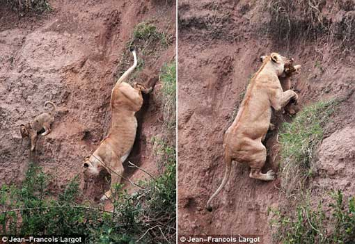 Rescue mission: The mother inches her way down the cliff face to rescue the terrified cub before locking him in her jaws and making her way back up the cliff face
