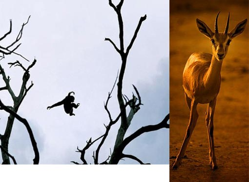 'Watch out!' says gazelle to fly-jumping monkey