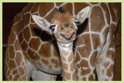 new giraffe calf born January 26, 2009