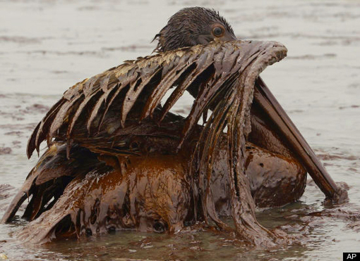 Gulf Oil Spill disaster: oil covered Brown Pelican