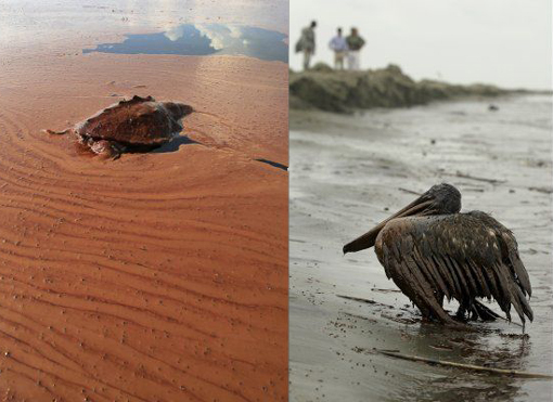 L: dead turtle floats on a pool of oil from the Deepwater Horizon spill; R: oil covered Brown Pelican on beach at East Grand Terre Island along the coast of Louisiana