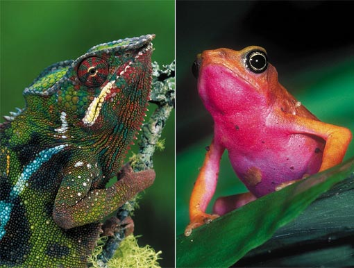 left: panther chameleon (Furcifer pardalis), Andasibe, Madagascar; right: harlequin frog (Atelopus flavescens) displays its bright warning colours in the rainforests of French Guiana