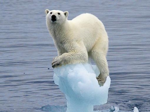 polar bear clinging on what's left of a block of ice or glacier