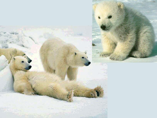 Polar bears are losing their habitat due to global warming. Inset: cute polar bear cub.