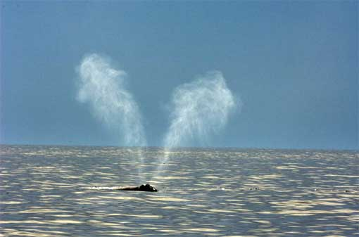 Signature V-shaped plumes of spray shoot from a North Atlantic right whale in the Bay of Fundy.