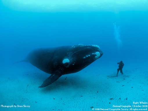 "One whale repeatedly swam within inches of photographer Brian Skerry and assistant Mauricio Handler (pictured) as they dived off the Auckland Islands. ""It looked at me with great curiosity,"" Handler says. ""No aggression."""