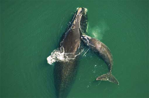A female gets a playful bump from her new calf in warm shallows near Florida's Amelia Island.