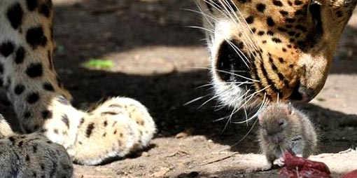 determined little mouse took no notice of the leopard and just carried on eating