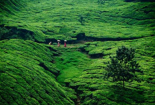 tea plantation in Munnar, Kerala