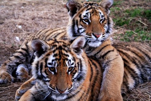 Adorable tiger cubs at Tiger Canyon, South Africa