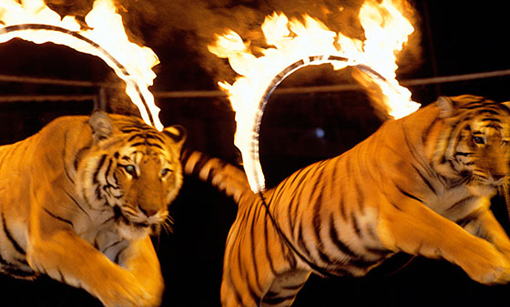 tigers get burned jumping through flaming hoops