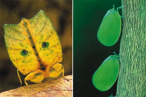 left: walking leaves (Phyllidae) are closely related to stick insects. Crater Mountain, Papua New Guinea; right: only the inappropriate perch gives away these leaf bugs (Phromnia) in Ankarafantsika National Park, Madagascar