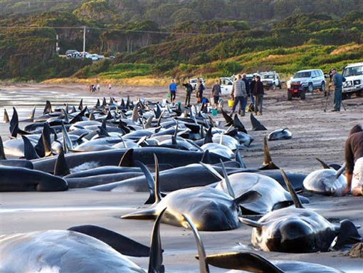 about 50 of 194 pilot whales and seven dolphins stranded on King Island were still alive
