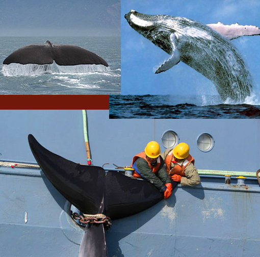 worldwide commercial-whaling moratorium that has been in place since 1986 is under seige