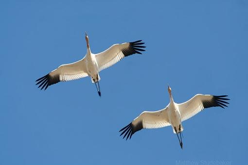 majestic whooping cranes flying overhead