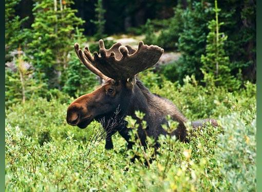 Wild bull moose at Lake Isabella, Colorado. Jason K. Bach/The Wilderness Society