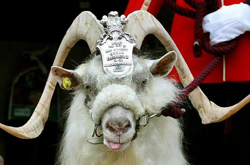 William Windsor, mascot of England's 1st Battalion, appears at his retirement parade after seven years of UK Army service. The Battalion, known as The Royal Welsh, has had a goat in its ranks for more than 200 years