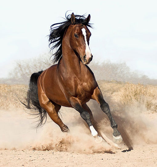 a majestic and elegant brown arabian horse galloping freely