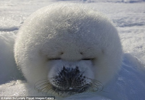 time for a little nap: puffed up and sleepy this seal pup catches forty winks in Canadian winter sun