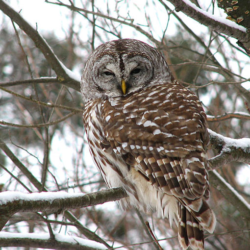 to save the endangered spotted owl, the Obama administration is moving forward with a plan to shoot barred owls (pictured), a rival bird