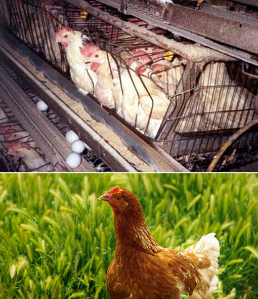 poultry industry: chickens in battery cages