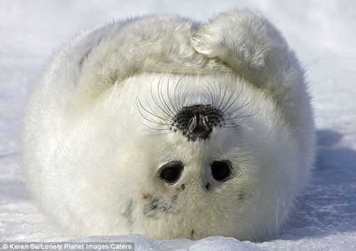 tickle my tummy: Harp Seal rolls over in Canada snowy wastelands, looks like he is asking for a belly rub