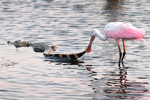 bird tugging on alligator tail
