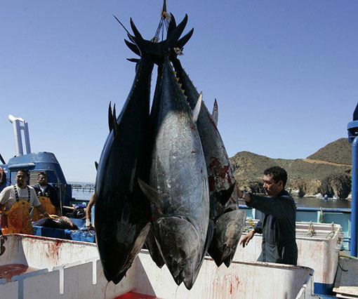 Pacific bluefin tuna, near Ensenada, Mexico. Researchers have shown that similar tuna carried radiation from Fukushima, Japan, to California in 2011