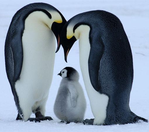 Bornwild Penguin