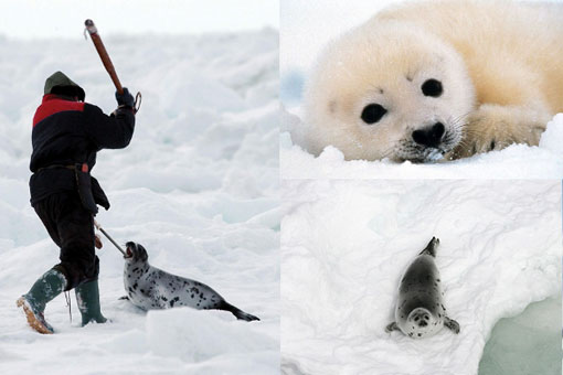 Every year in Canada, fishermen go to seal nurseries on the Front in Newfoundland and Labrador, and in the Gulf of St. Lawrence and kill hundreds of thousands of seals by clubbing and/or shooting them and then skinning them, sometimes while they are still alive.