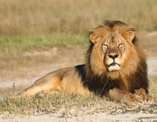 Cecil the lion rests in Hwange National Park, in Hwange, Zimbabwe
