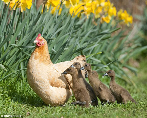 Even when tiny Indian runner ducklings emerged instead of fluffy yellow chicks, Hilda wasn't put off and adopted the babies as her own